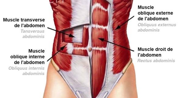 anatomie-abdo